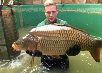 A large Common Carp for sale