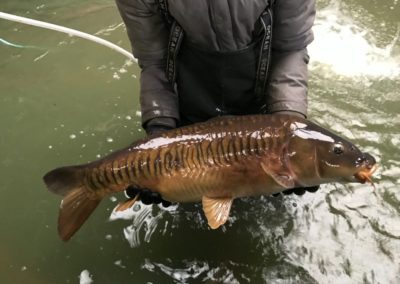 A lovely looking scaled mirror Carp